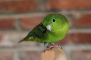 © COPYRIGHT 2014 Eddie's Aviary A normal green colored Linnie, his name is Leaf