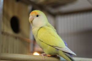 Our aviary namesake and mascot Eddie is 9 years old and may be a dad for the first time soon. He is a peachfaced lovebird in the mutation violet aqua pallid. Here is our turquoise linnie male (sleepy here) that took best linnie and 6th overall out of 98 Parrots. © COPYRIGHT 2016 Eddie's Aviary