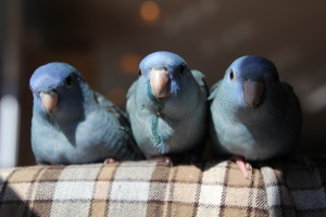A trio of violet cobalt linnie siblings with ful crops and dirty faces after eating lunch. © COPYRIGHT 2016 Eddie's Aviary