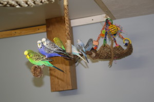 """No matter how many perching opportunities, budgerigars love to sit with their """"flock"""" © COPYRIGHT 2017 Eddie's Aviary"""
