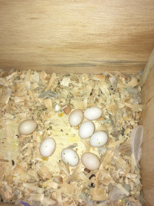 Misty laid a whopping 8 eggs. 5 look fertile. Anything can happen, but fingers crossed! © COPYRIGHT 2017 Eddie's Aviary