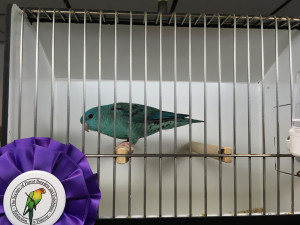 This is Grown Up (my daughter named him), he won 3 Best in Shows this weekend. Bred by Cheryl King. COPYRIGHT 2017 Eddie's Aviary
