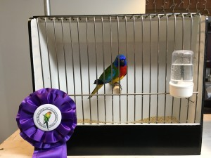 Martin, bred by us - a scarlet chested parakeet cock won a Best in Show this weekend. 3 total for him now! COPYRIGHT 2017 Eddie's Aviary